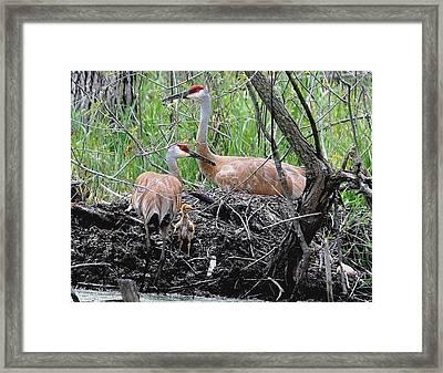 Sandhill Family  Framed Print