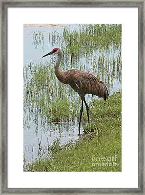 Sandhill In The Marsh Framed Print by Carol Groenen