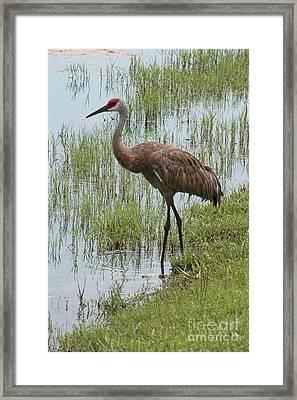 Sandhill In The Marsh Framed Print