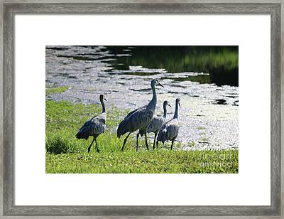 Sandhill To The Pond Framed Print by Carol Groenen