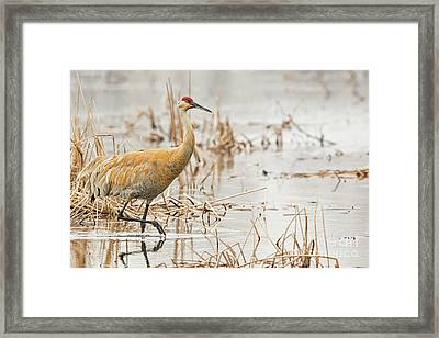 Sandhill Walk Framed Print by Natural Focal Point Photography