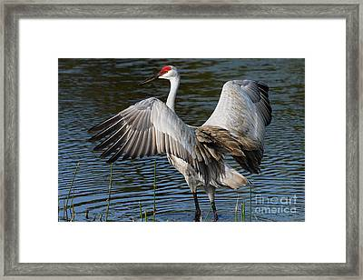 Sandhill Crane Wingstretch Framed Print