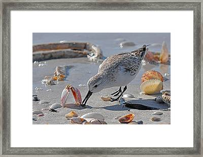 Sandpiper Framed Print