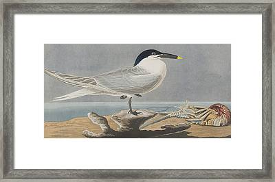 Sandwich Tern Framed Print by John James Audubon