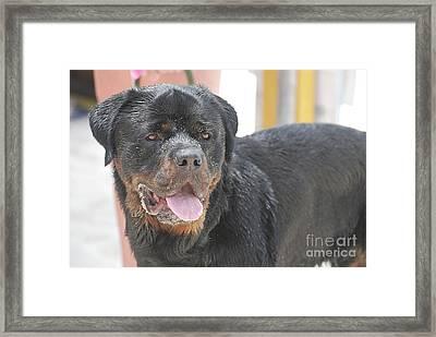 Sandy Face Of A Rottweiler Framed Print