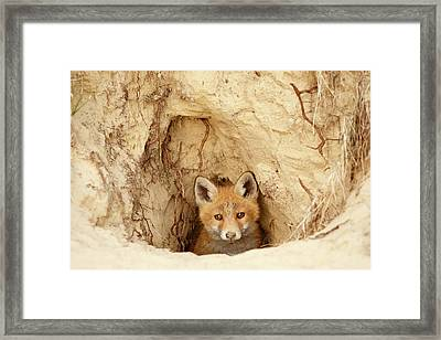 Sandy Nose - Red Fox Kit Coming Out Of Its Den Framed Print