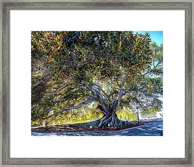 Santa Barbara Fig Tree Framed Print