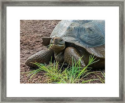 Santa Cruz Tortoise Grass Feast Framed Print by Harry Strharsky