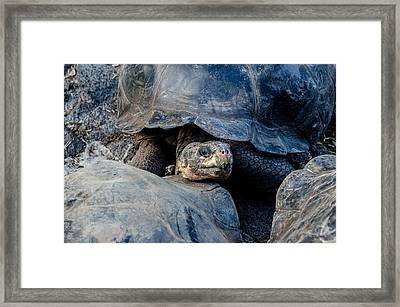 Santa Cruz Tortoise Framed Print by Harry Strharsky