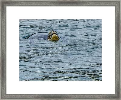 Santiago Sea Turtle Framed Print by Harry Strharsky