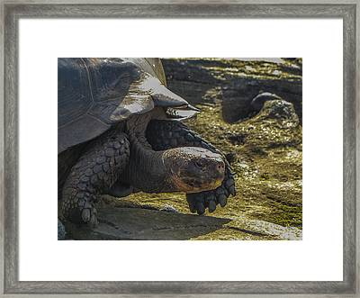 Santiago Tortoise Framed Print by Harry Strharsky