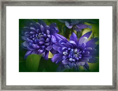 Sapphire Blue Chrysanthemums Framed Print