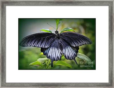 Sapphire Blue Swallowtail Butterfly Framed Print