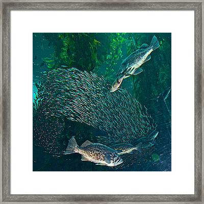 Sardine Frenzy In Monterey Aquarium-california  Framed Print