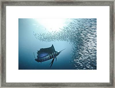 Sardine Run #42 Framed Print