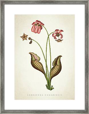 Sarracena Canadensis Botanical Print Framed Print