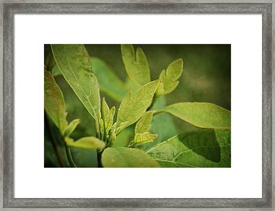 Sassafras Tree Framed Print