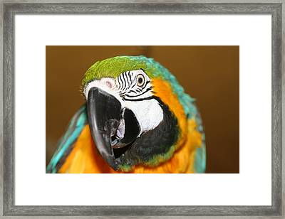 Framed Print featuring the photograph Sassy Blue And Gold Macaw by Diane Merkle