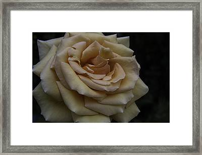 Satiny Rose Framed Print
