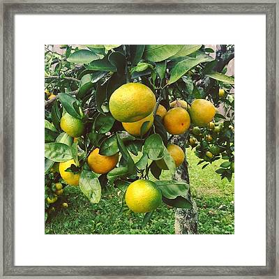 Satsumas..we Wait All Year For These Framed Print