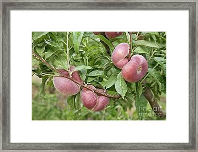 Saturn Peaches Framed Print