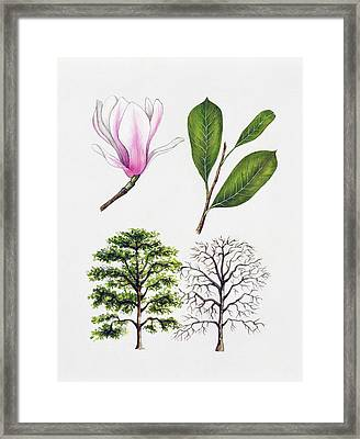 Saucer Magnolia Framed Print by Unknown