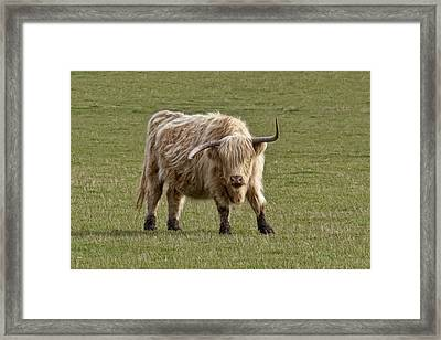 Sauvie Island Cow Framed Print