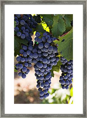 Sauvignon Grapes Framed Print by Garry Gay