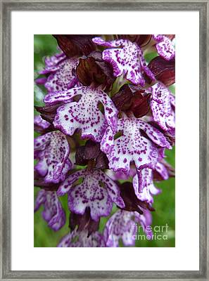 Savage Orchid 2 Framed Print