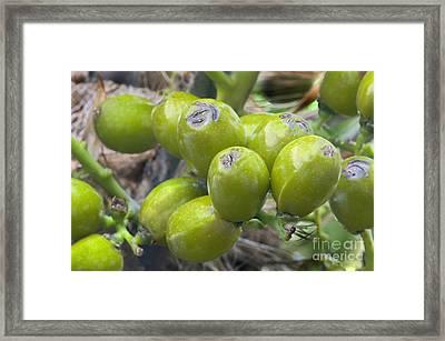 Saw Palmetto Seeds Framed Print by Inga Spence