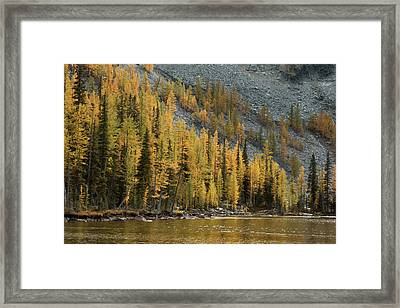 Sawtooth Larches Framed Print