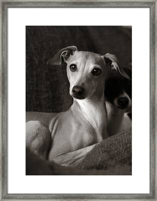 Say What Italian Greyhound Framed Print