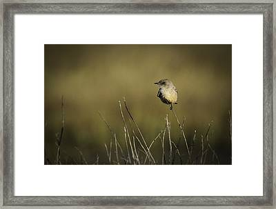 Say's Flycatcher Framed Print