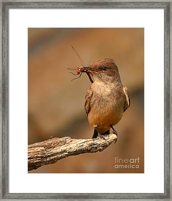 Say's Phoebe Pausing With Freshly Caught Red Dragonfly In Beak Framed Print by Max Allen