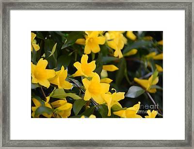 Sc Yellow Jessamine 2 -georgia Framed Print by Adrian DeLeon