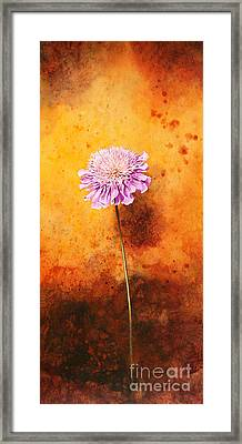 Scabious Framed Print by John Francis