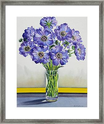 Scabious With Yellow Band Framed Print by Christopher Ryland