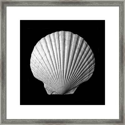 Scallop  Seashell Framed Print by Jim Hughes