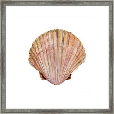 Scallop Shell Framed Print