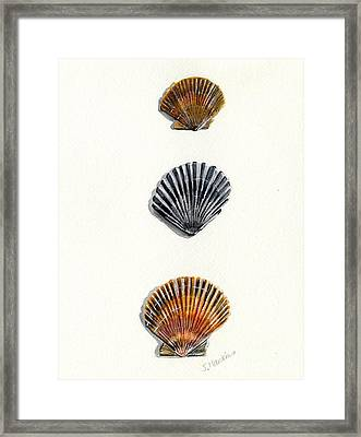 Scallop Shell Trio Framed Print by Sheryl Heatherly Hawkins