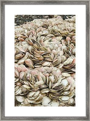 Scallop Shells Framed Print by Ted Kinsman