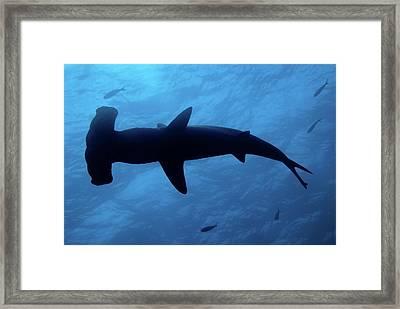 Scalloped Hammerhead Shark Underwater View Framed Print by Sami Sarkis