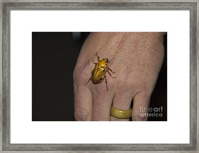 Scarab Beetle In Ecuador Framed Print by Al Bourassa