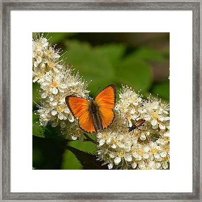 Framed Print featuring the photograph Scarce Copper 2 by Jouko Lehto