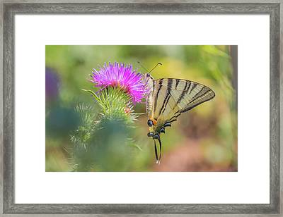 Scarce Swallowtail - Iphiclides Podalirius Framed Print