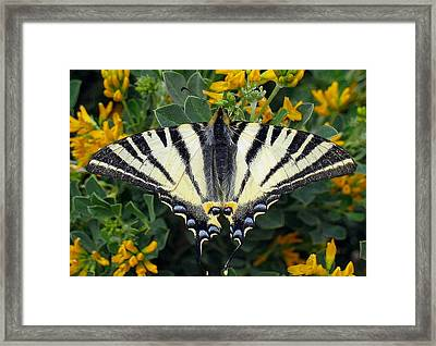 Scarce Swallowtail Iphiclides Podalirius Framed Print by Tracey Harrington-Simpson