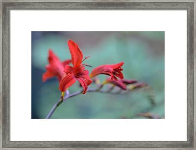 Scarlet Blooms Framed Print