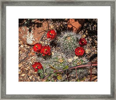 Scarlet Cactus Blooms Framed Print
