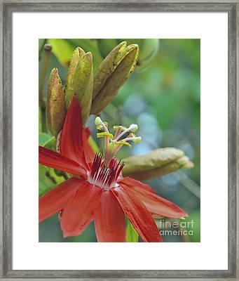 Scarlet Flame Passiflora  Framed Print by Olga Hamilton