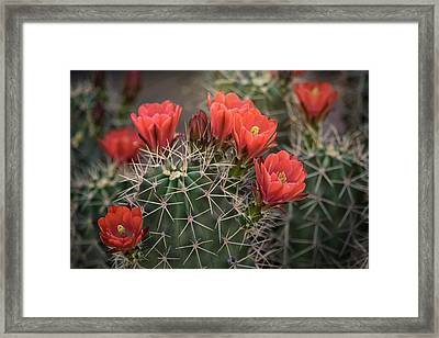 Framed Print featuring the photograph Scarlet Hedgehog Cactus  by Saija Lehtonen